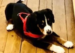 Vermisst: Wer hat 4 Monate alten Sennenhund in Hannover gesehen?