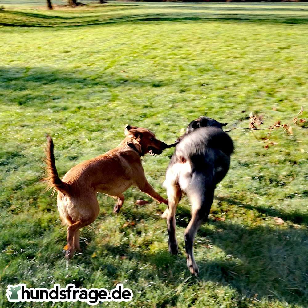Hunde beim spielen - hundsfrage.de